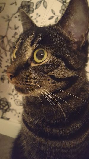 Animal Themes Indoors  Cat Animal Gorgeous Cute Feline Purr Purrfect Swedish Cat Domestic Cat Adroble Pets Mjau Cattitude Catprofile Furriend CoolCat Littlecat  Bosscat Whiskers One Animal Looking At Camera Friday Thanksgodisfriday