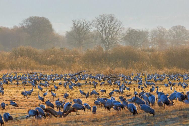 Flock of cranes grazing at the meadow at lake hornborgasjon in sweden