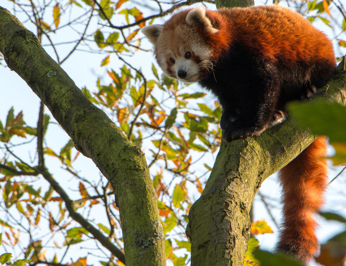 Animal Themes Blijdorp Katbeer Kleine Panda Low Angle View Mammal One Animal Red Cat-bear Red Panda Rode Panda Rotterdam Tree Zoo Zoo Animals