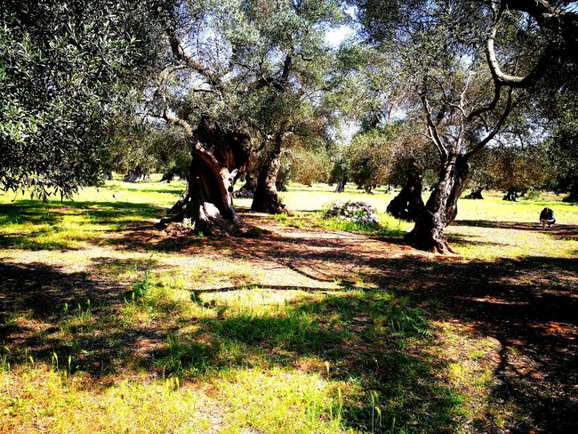 Millenary Olive Tree Salento Puglia Lecce My Country Leaf Green Color Sunlight Tranquility Day No People Fragility Beauty In Nature Outdoors Flower Tree Filtered Photo Petal Rural Scene Agriculture Travel Destinations