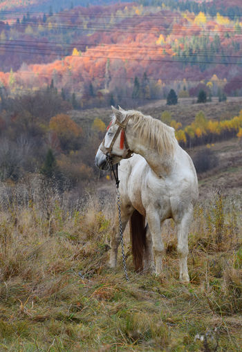 White horse grassing in autumn meadow Animal Domestic Domestic Animals Animal Themes Livestock Horse Land Field Plant One Animal Autumn Nature Tree Day Grass Landscape No People Outdoors Change Herbivorous Pasture Copy Space