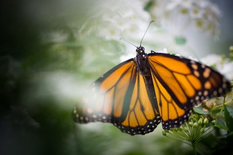 Close-up of monarch butterfly