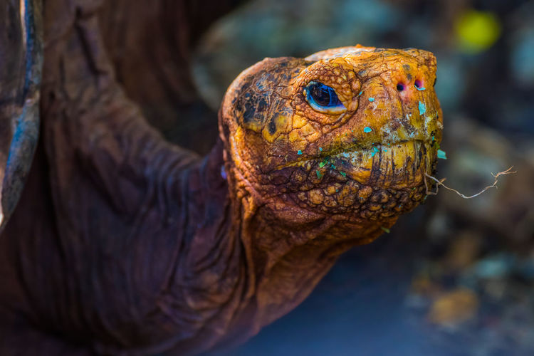 Giant tortoise in galapagos islands