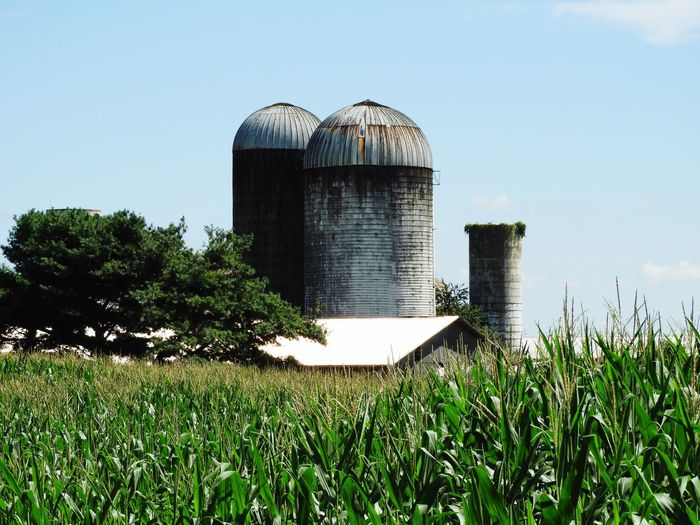 Cornfield with silos in background Corn Silos Farming Corn Vegetable Corn Crop Farmland Peaceful View Farming Plant Sky Built Structure Building Exterior Nature Day Landscape Tree Agriculture Grass Silo Outdoors Field Clear Sky No People