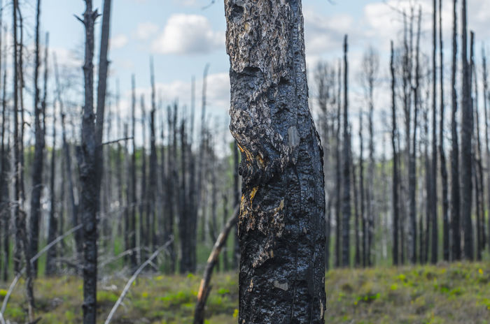 Charred Forest Aftermath Beauty In Nature Charred Charred Wood Climate Change Close-up Focus On Foreground Forest Forest Burn Forest Fire Nature Outdoors Rejuvenating Tree Tree Trunk