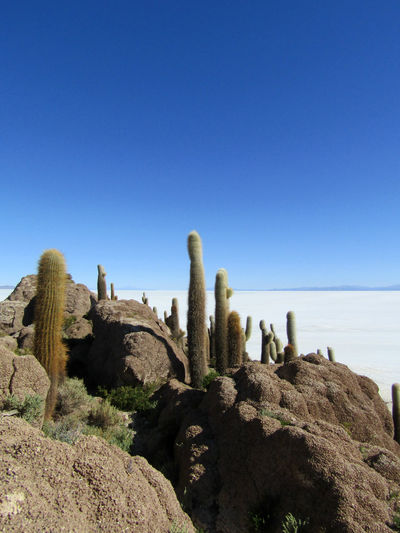 Isla Incahuasi, Salar de Uyuni, Bolivia. Cactus Isla Incahuasi Beauty In Nature Blue Cactus Clear Sky Day Land Nature No People Outdoors Plant Rock Rock - Object Salar De Uyuni Scenics - Nature Sea Sky Solid Succulent Plant Tranquil Scene Tranquility Water