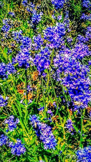 Lavenderflower Bee Food Summer Flowers Warmth Natural Light Get Your Sunglasses On Botany Botanical Gardens