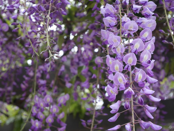 Beauty In Nature Beautiful Blooming Japan Photography Japanese Garden Japanese Photography Flower Hanging Scented Tree Purple Blossom Springtime Lavender Colored Lavender Wisteria Blooming In Bloom Plant Life Flowering Plant