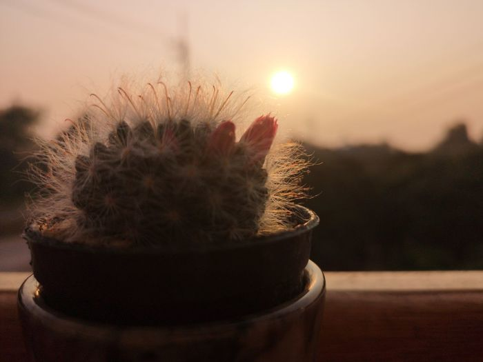 Close-up of potted cactus plant against sky during sunset