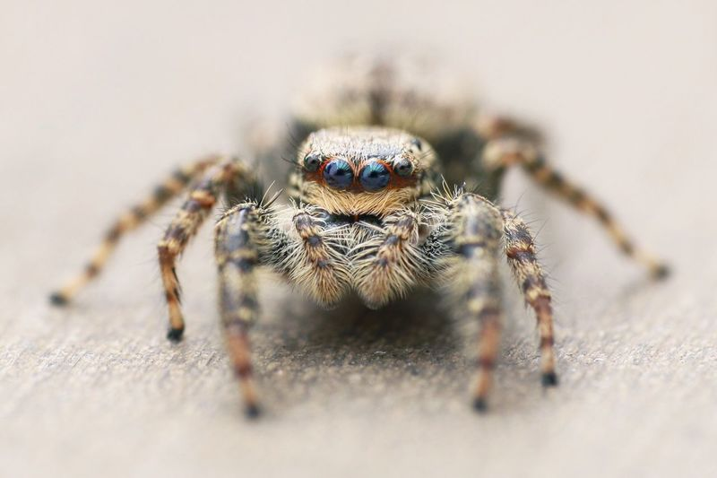 """""""Hi! I'm Jumpi, the jumping spider"""" Spider Jumping Spider Insect Insects  Insect Photography Macro Macro_collection Macro Photography Macro Beauty Beauty In Nature Eyes Makro Makro Photography Insekten Animals Tiere Nature Phobia Animal Themes Animal Close-up Focus On Foreground Michael Hruschka Natur EyeEm Nature Lover"""