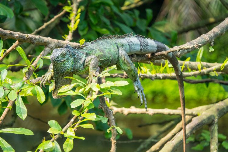 Leguan Reptile Tree Camouflage Tail Branch Iguana Portrait Leg Close-up Lizard Exotic Pets Animal Skin