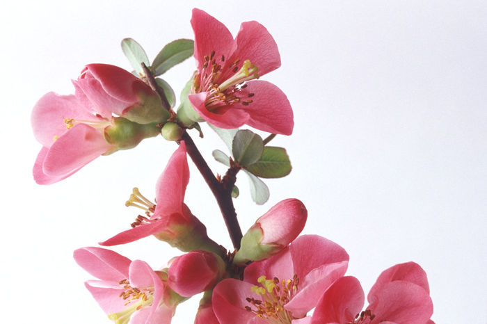 Japanese Peach Chaenomeles Japonica Flower Flower Quince Nature Pesco Giapponese Pink Color