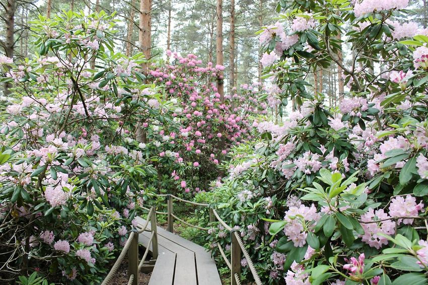 Growth Tree Beauty In Nature Nature Flower Day Outdoors Plant Branch No People Freshness Springtime Summer Flower Head Pink Flower Many Flowers Flower Field Garden Flowergarden Flowers Manyflowers Botanical Garden Close-up Freshness Beauty In Nature