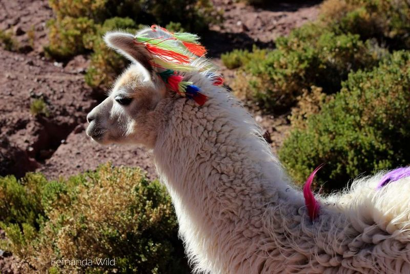 Llama Llama❤ Animal Nature Naturaleza Nature Photography Naturelovers Naturaleza🌾🌿 Naturale Naturephotography Animals In The Wild San Pedro De Atacama Altiplano