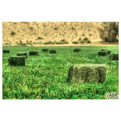 مزرعة القصيم المملكة العربية السعودية Farm Qassim Saudi Arabia