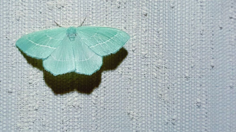 Color Of Life Butterfly Turquoise Butterfly Collection Butterfly Wings Butterflies Amazingthings Fly Flying Things Awesomethings Awesome_shots Wings EyeEmNewHere Visual Creativity