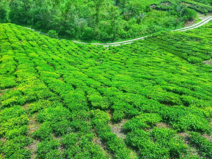 Hi, greeny land :) Throwback Cameron Highlands Bohtehcentre Twoyearsago