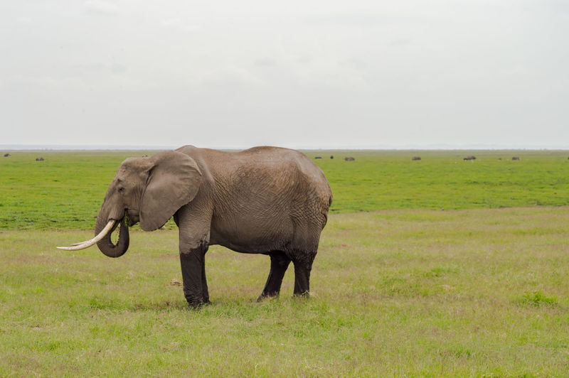 Animal Themes Animal Mammal Elephant One Animal Vertebrate Animal Wildlife Field Animals In The Wild Nature No People Herbivorous African Elephant Animal Trunk Outdoors Amboseli National Park Nairobi Nairobi National Park African Safari