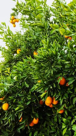 En la pisca para un delicioso jugo Citrus Fruits Nature Orange - Fruit Nikon DiosEsFiel Naturaleza NoPasaNada Fotos Reset Fotografia Naranja Hermosodia Followme
