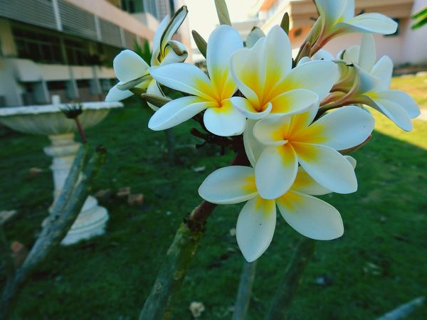 Flower Petal Flower Head Fragility No People Outdoors Growth Plant Day Frangipani Flowers, Nature And Beauty Star Flower White Flower Beauty White Star Flower Botany Blossom