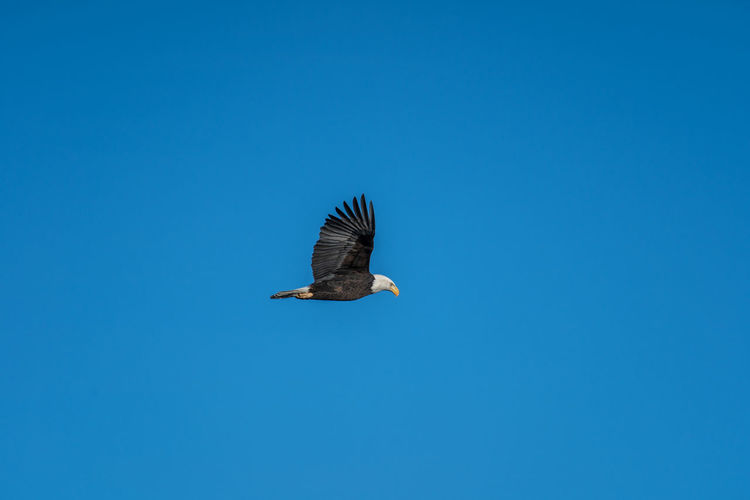 Animals In The Wild Animal Wildlife One Animal Animal Themes Animal Bird Vertebrate Flying Clear Sky Sky Copy Space Spread Wings Blue Low Angle View No People Nature Day Bird Of Prey Beauty In Nature Mid-air Outdoors Eagle