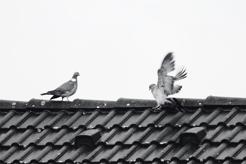 Bird Roof Animals In The Wild Animal Themes Low Angle View Animal Wildlife Clear Sky Roof Tile Tiled Roof  Building Exterior Outdoors Day Architecture No People Spread Wings Pidgeons Pidgeon  Blackandwhite Black And White City Life City Animals City Birds Frankfurt Germany