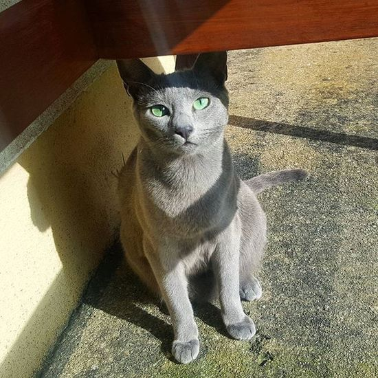 Leeloo enjoy the sun as much as she enjoys the shade! 😄🌞😎😙 Russianbluesofinstagram Russianbluekitten RussianBlue Russianbluecat Instacat Instakitty Greycat Silvercat Bluecat Cat_features ロシアンブルー Propetsfeature Catstocker Catstock Excellent_cats Rosyjskiniebieski Russischblau Gats Gatos Azulruso Catsmosh N1cecats Thedailykitten Kot Kotek kotka hussycatspetoftodaycatsisters sistercats