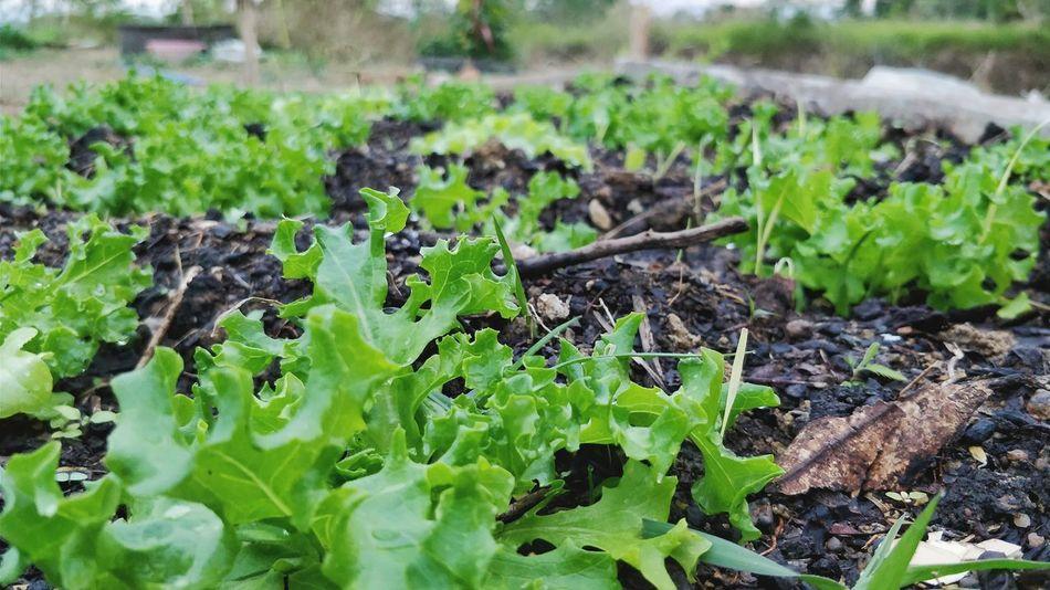Vegetable Salad Vegetables Photo Vegetarian Food Vegetable Salad Park Graden Photography Vegetables Of EyeEm Vegetable Photography Greenery Lover Nature Leaf