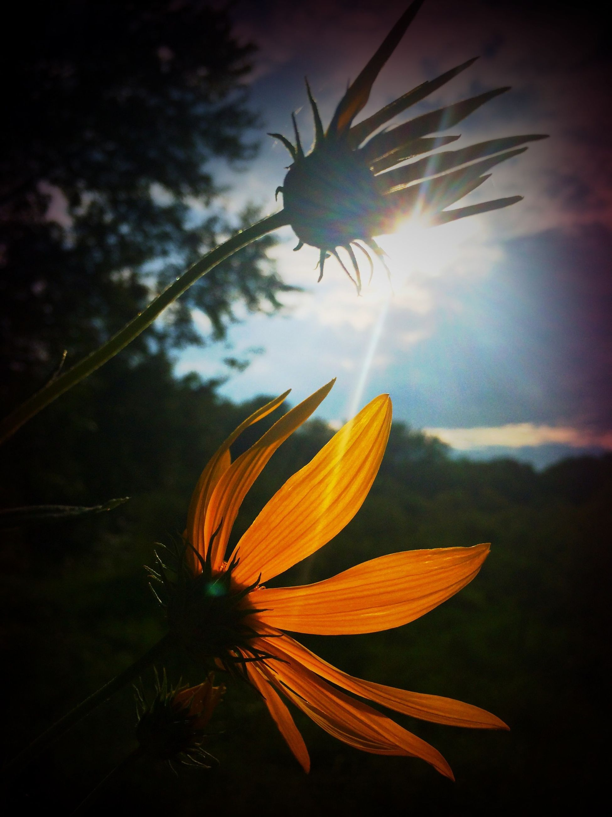 flower, fragility, beauty in nature, growth, freshness, low angle view, sky, sun, nature, flower head, petal, close-up, plant, sunbeam, sunlight, blooming, focus on foreground, single flower, outdoors, in bloom