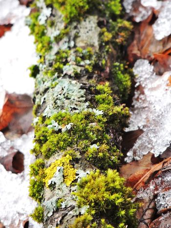 Beauty In Nature Close-up Day Growth Lichen Moss Nature No People Outdoors Snow Textured  Tree Tree Trunk Winter