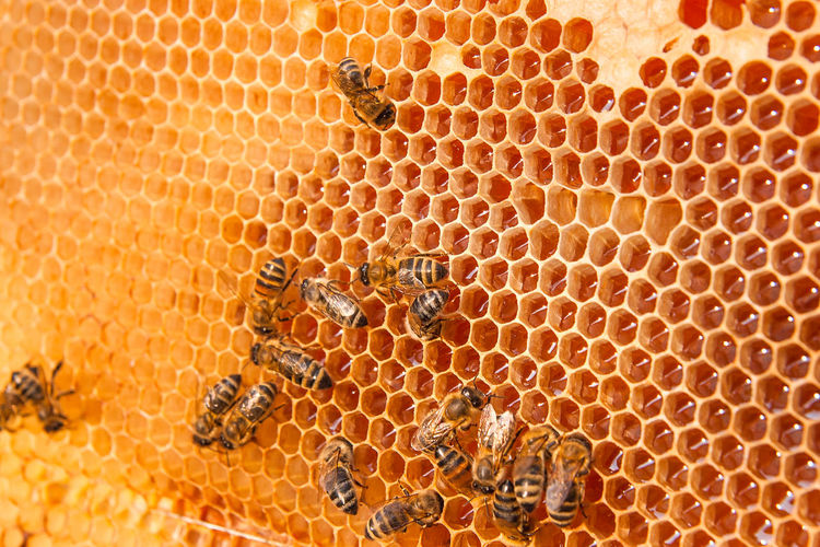 Animal Animal Themes Animal Wildlife Animals In The Wild APIculture Beauty In Nature Bee Beehive Close-up Full Frame Group Of Animals Hexagon Honey Honey Bee Honeycomb Insect Invertebrate Large Group Of Animals Nature No People