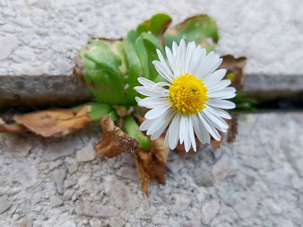 Premium Collection. Focus on Daisy struggeling to grow between stone plates. ... focus Focus on the Story Premium Collection Focus Steinplatte Stone Plate EyeEm Selects Struggle For Life Colourful Nature Strong Nature Flower Head Flower Petal Close-up Plant Daisy Blooming Wildflower Single Flower Uncultivated Pollination In Bloom Stamen Pollen The Still Life Photographer - 2018 EyeEm Awards