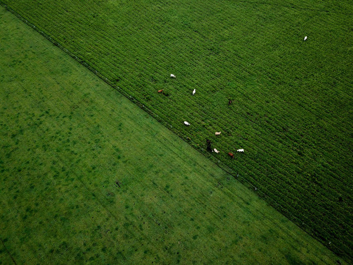Green Grass Cows Dronephotography Drone  EyeEm Selects Lines Rural Scene Agriculture Field High Angle View Grass Green Color Agricultural Field Farmland Grassland Farm Animal