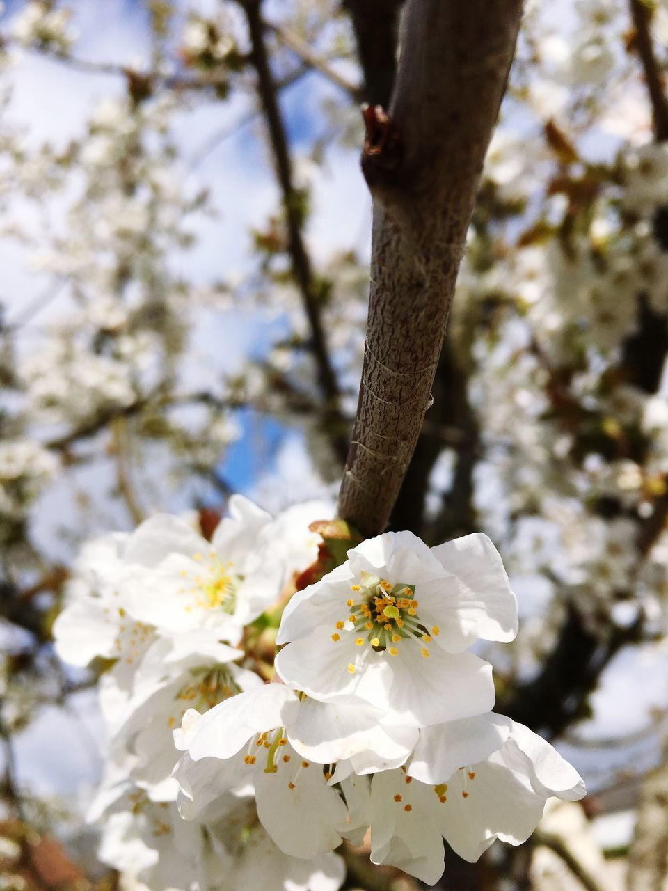 flower, tree, white color, fragility, blossom, growth, nature, apple blossom, beauty in nature, petal, apple tree, branch, springtime, orchard, freshness, botany, day, flower head, stamen, no people, close-up, blooming, outdoors