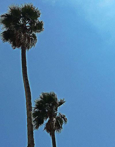 Palm Trees Palm Tree Palm Tree And Blue Sky Palm Tree And Sky Simple Beauty Simplicity Tree And Sky