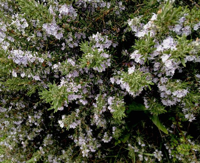Rosemary Aromaticherbs Springtime Rosemary Herb Rosemary Flowers Botany Mediterranean Nature Growth Nature Flower Plant Beauty In Nature No People Outdoors Freshness Fragility Close-up Day Aromatic Aromatic Plants Full Frame Purple Flowers Blooming In Bloom Herbal
