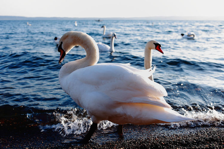 Animal Themes Animals In The Wild Beauty In Nature Bird Day Lake Nature No People Outdoors Sea Side View Swan Water Water Bird White Color Wildlife
