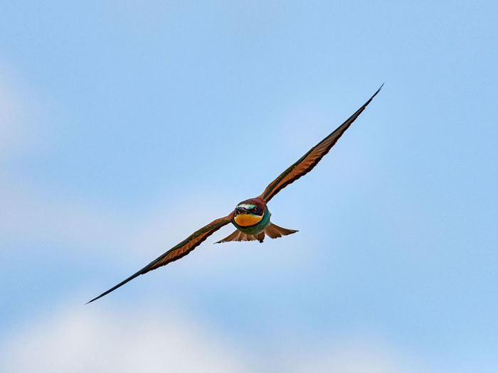 European bee-eater in flight near the town of Xàtiva, Valencia, Spain Sky Flying Blue Nature Day One Animal Outdoors Motion Animal Animal Wildlife Animals In The Wild Bird Vertebrate Birdwatching Wildlife Beautiful Colorful Beak Nature Wild Background Predator Wing Fly Fauna