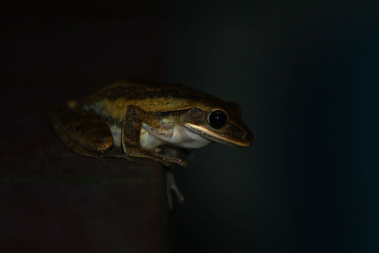 Close-up of frog over black background