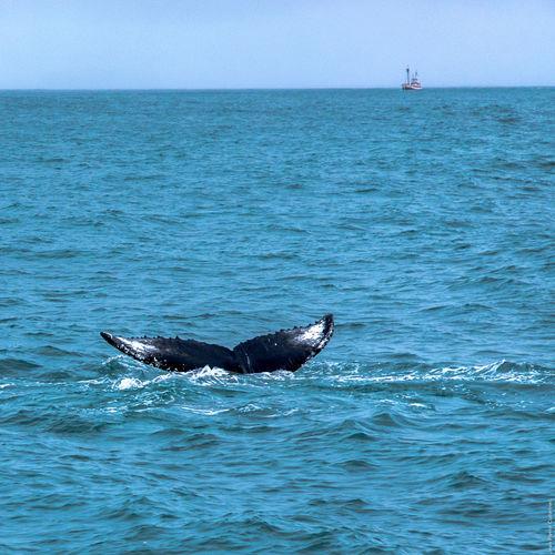 Húsavík, baleine dans la baie de Skjálfandi Husavik Iceland Whale Whale Watching