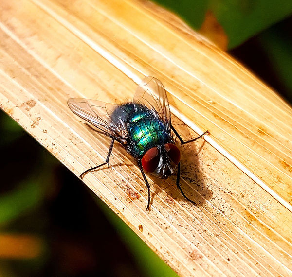 Fly Check This Out Close-up Hello World Colour Of Life Beauty In Nature EyeEm Nature Lover Hello World EyeEm Best Shots EyeEm Gallery Beutiful Day Small_world Beutiful Nature Close Up Nature Macro_collection Green Fly Summer ☀ Cheese! Posing For The Camera Insect Photography