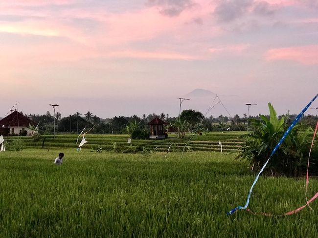 Field Agriculture Nature Sky Growth Beauty In Nature Grass Outdoors Sunset Rural Scene Scenics Landscape Tree Rice Paddy Day No People Architecture Rice Paddy Purple Sky Vulcano Bali