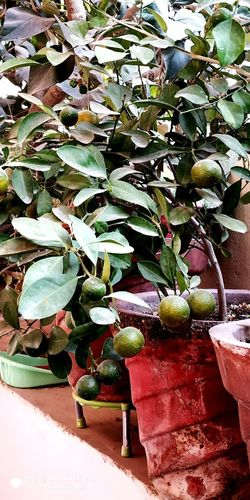 Ornamental orange plant with fruits in an earthen pot.. Orange Plant Ornamental Plant Profuse Fruiting Garden Indoor Plants Green Linear Leaves EyeEmNewHere Potted Plant Close-up Plant Plant Life