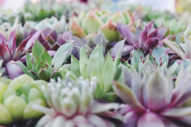 Mini Garden Flower Growth Plant Selective Focus Nature Beauty In Nature No People Close-up Freshness Petal Fragility Outdoors Blooming Day Flower Head EyeEmNewHere Succulents Stamen