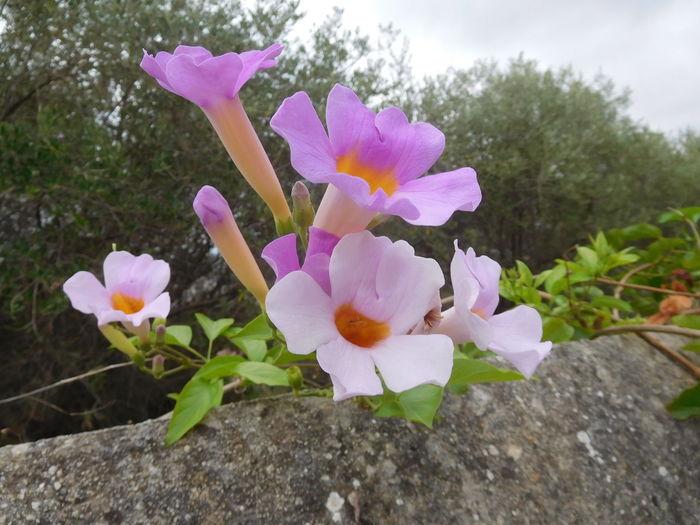 Bignonia Climbing Fragility Garden Nature South Violet Wall