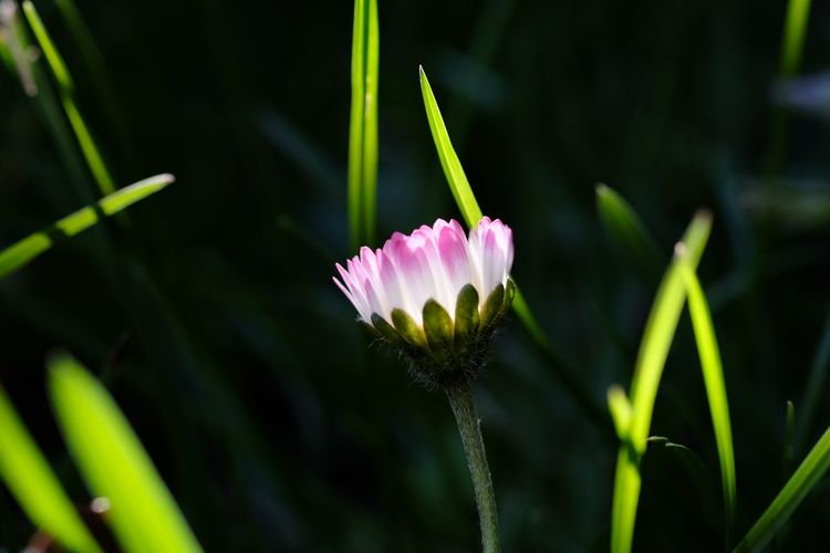 Daisy Plant Flowering Plant Flower Growth Vulnerability  Freshness Fragility Beauty In Nature Close-up Petal Inflorescence Flower Head Focus On Foreground Pink Color Green Color Plant Stem