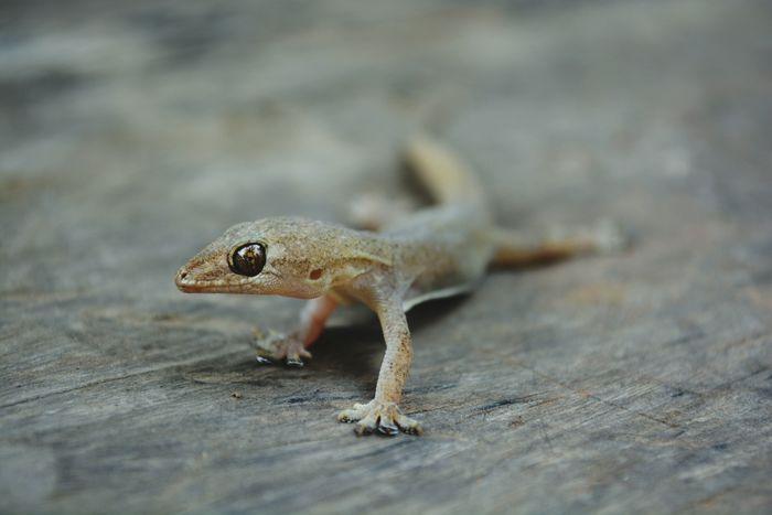 Lizard Close-up Animal Reptile Nature