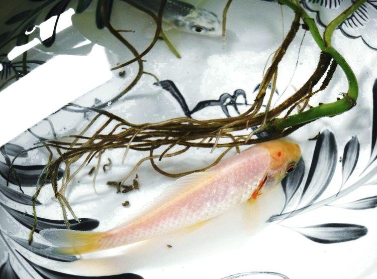 Fish Water GoldFish!