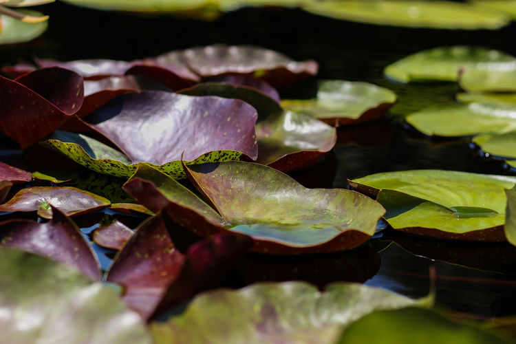 Close-up of leaves floating on water in pond