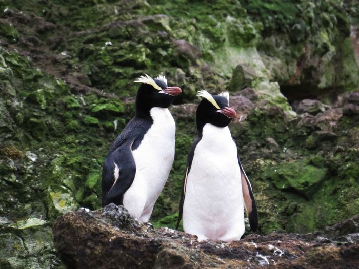 Erect Crested Penguins Sub Antarctics Erect Crested Penguin Antipodes Endangered Species Uncommon  Wildlife Bird Penguin Animals In The Wild Animal Wildlife Animal Themes Nature Outdoors No People